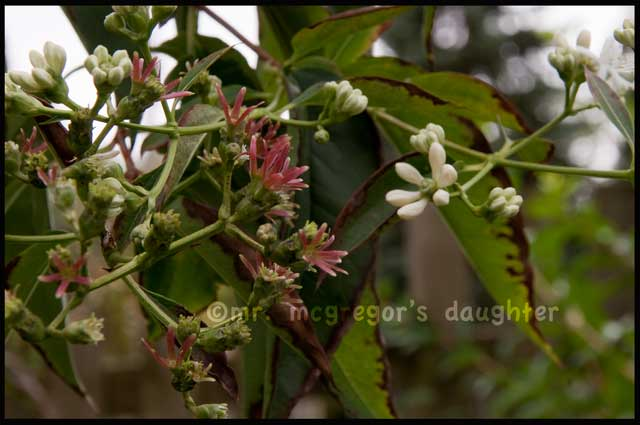 The Truth About Heptacodium miconiodes