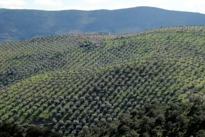 Olivares serranos en los pedroches