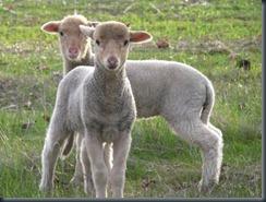 ginger lambs