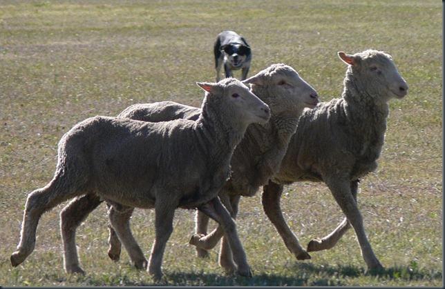 sheep murphy