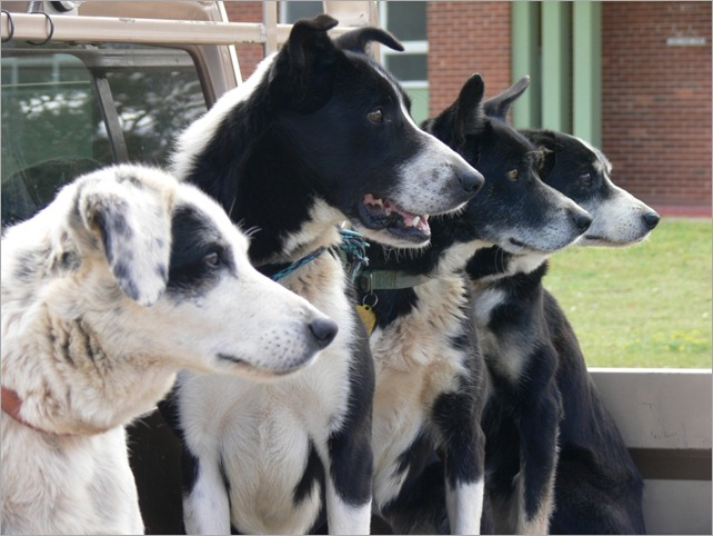 4 dogs ute