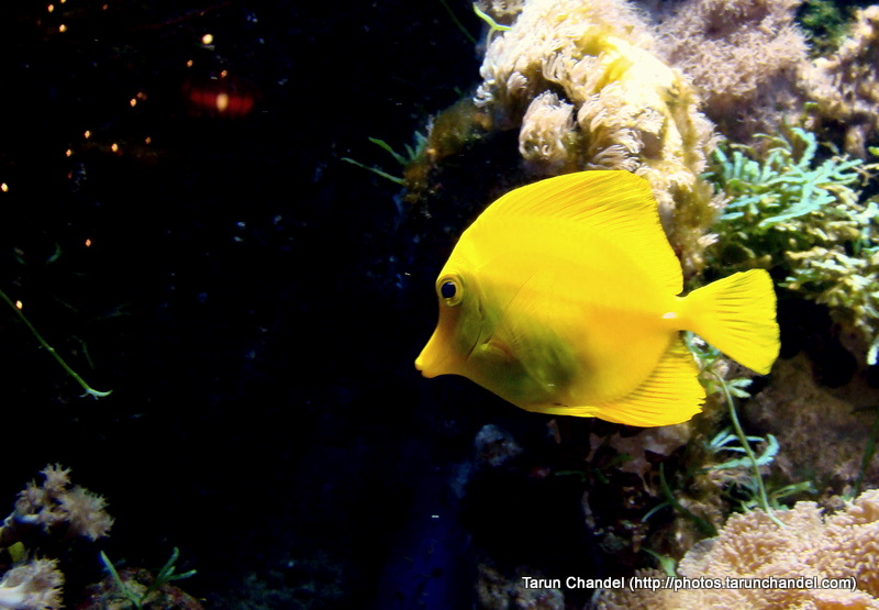 Yellow Fish Fishtank Dutch Fish Holland Fish Netherlands Fish, Tarun Chandel Photoblog