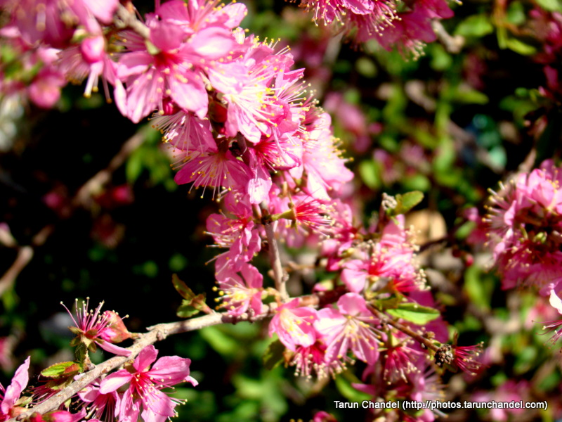 Mussoorie Uttarakhand flowers, Tarun Chandel Photoblog