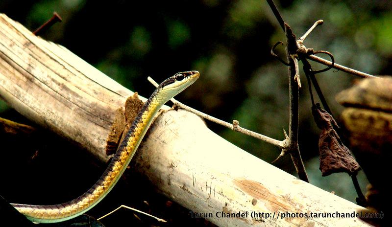Forest Snake Nasik, Tarun Chandel Photoblog