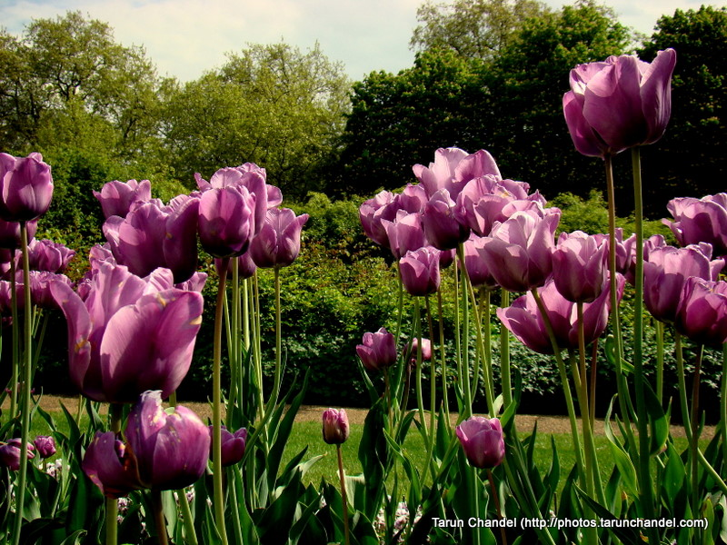 Dark Tulips Garden London UK, Tarun Chandel Photoblog