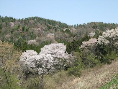 黒川 山桜