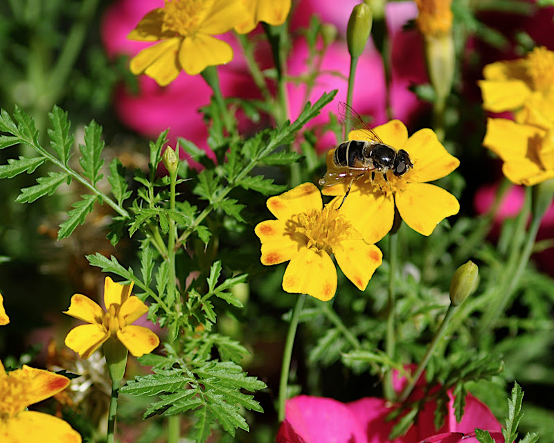 hoverfly in bright yellow and pink flowers