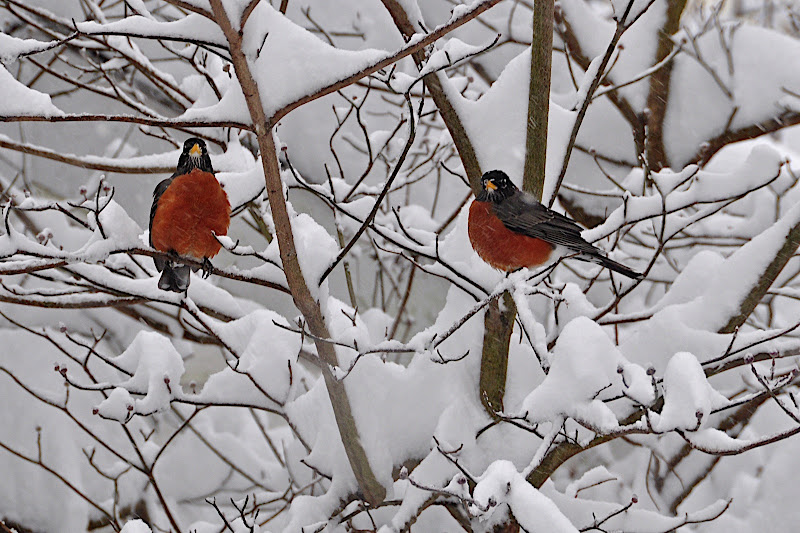 pair of robins in dogwood in snow
