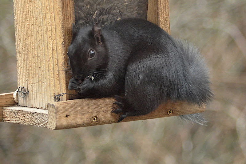 black squirrel at bird feeder