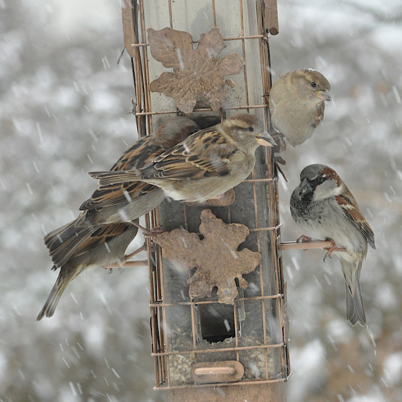 five sparrows at the feeder on a snowy day
