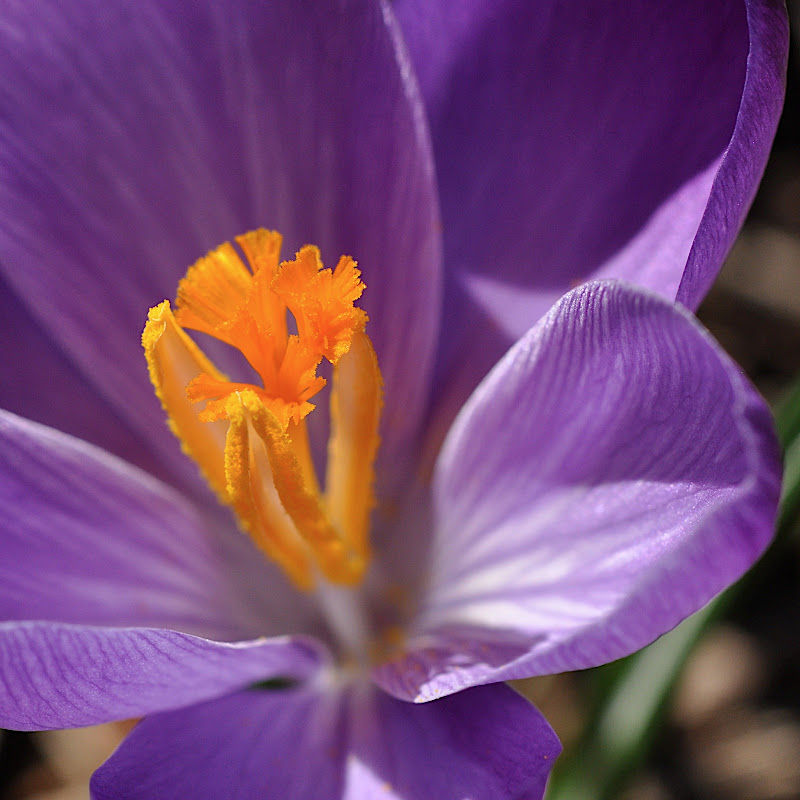 purple Crocus blossom