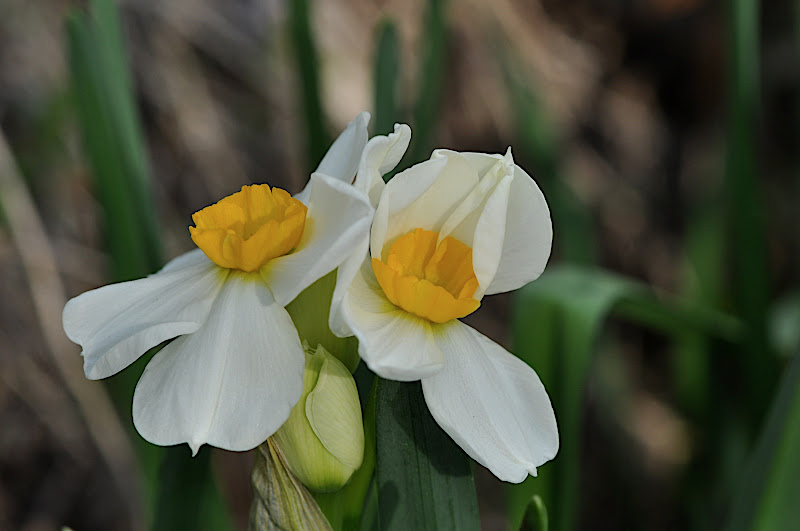 unfolding narcissus blossoms