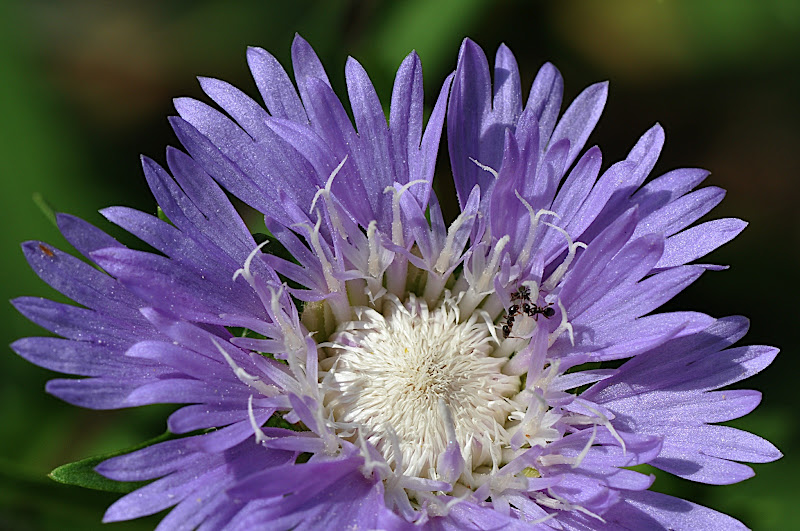 ants in Stokes aster