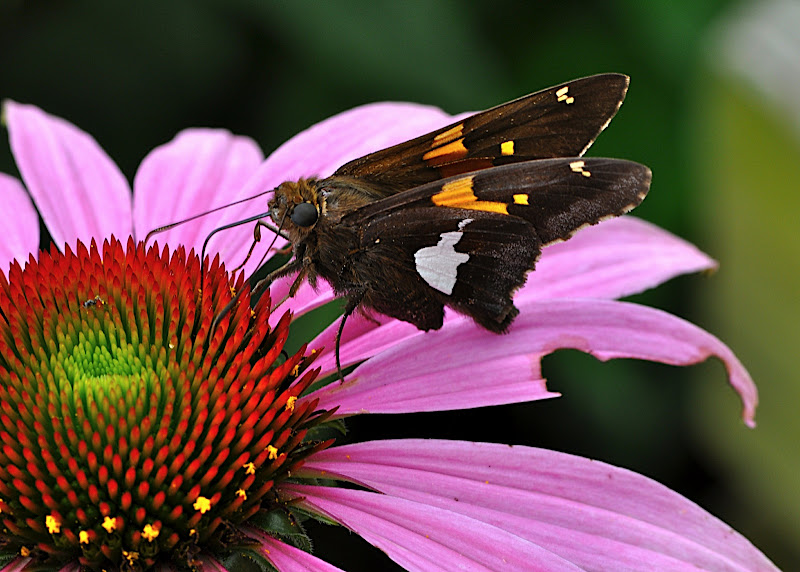 butterfly gathering pollen in Coneflower