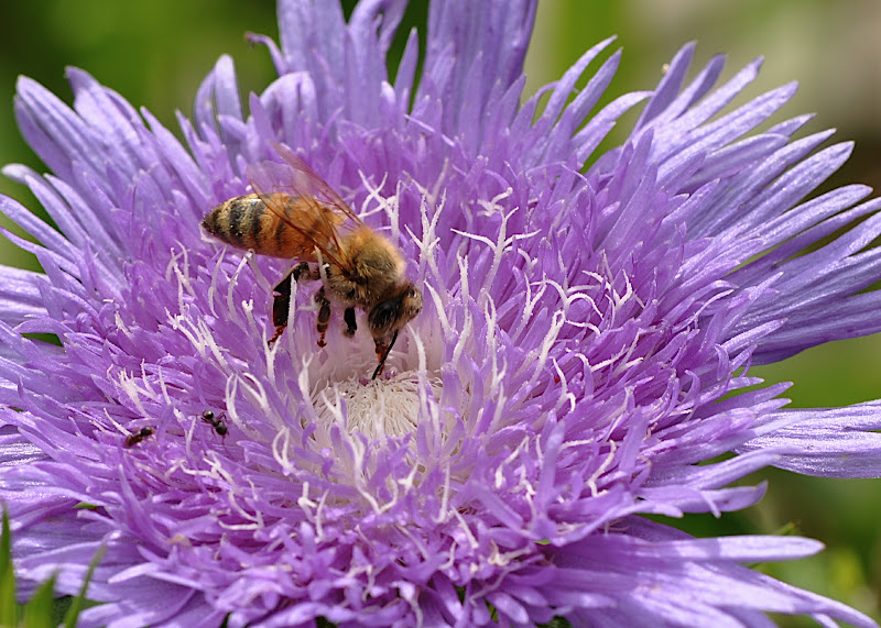 honey bee gathering pollen in Stokes Aster