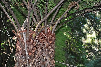 Rough Tree Fern