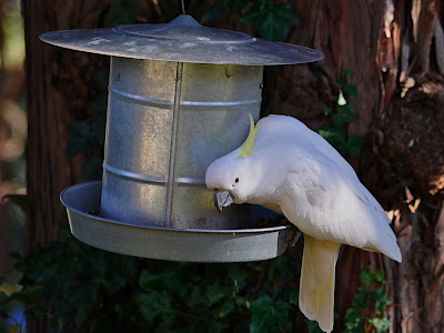 sulfur-crested cockatoo at bird feeder