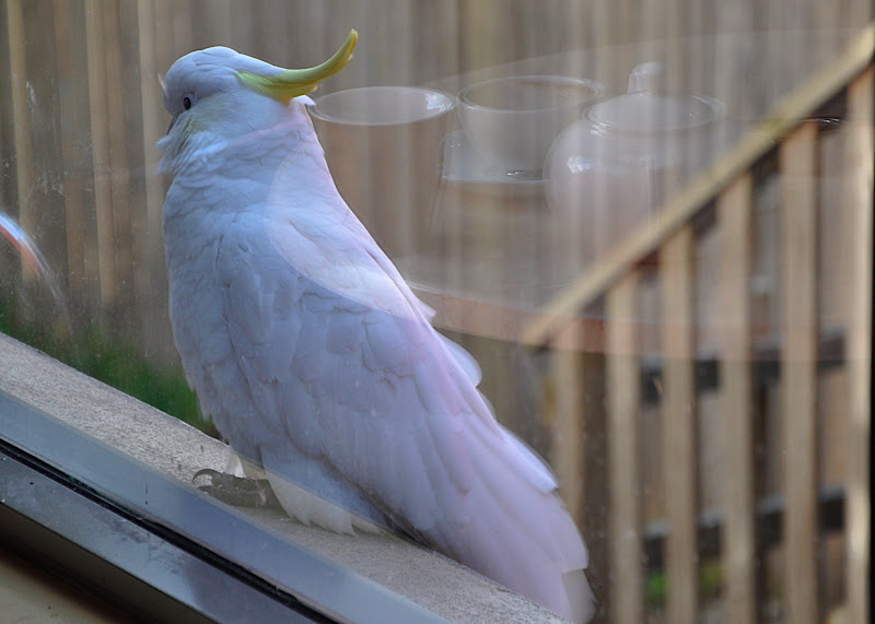 sulfur crested cockatoo eying chocolate