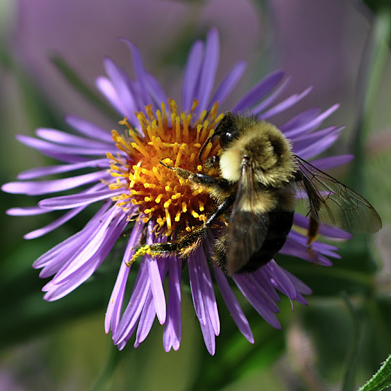 bumble-bee in aster blossom