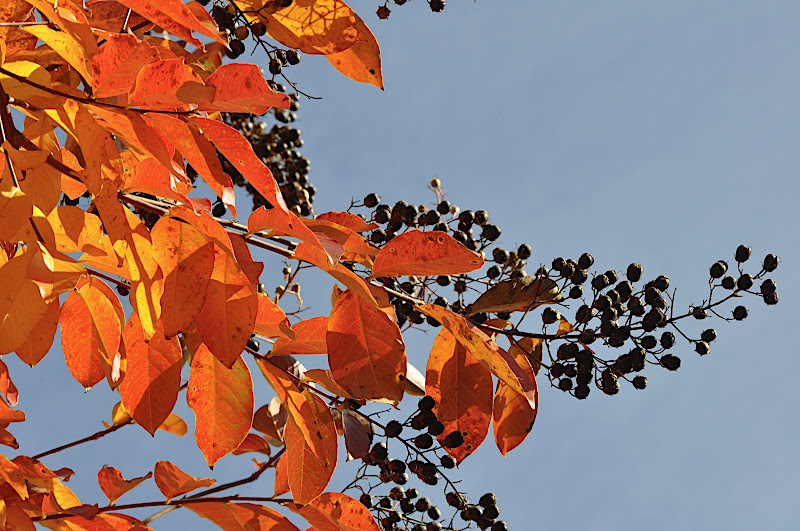 crepe myrtle fall foliage