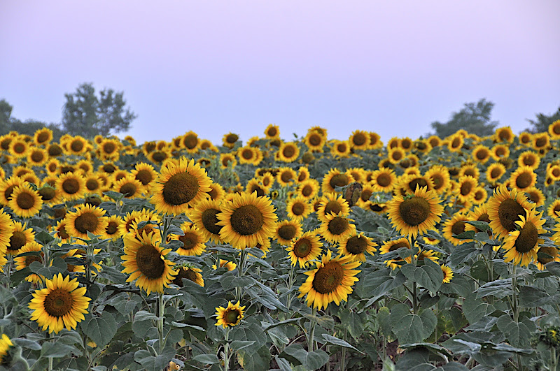 early morning light on a field of sunflowers