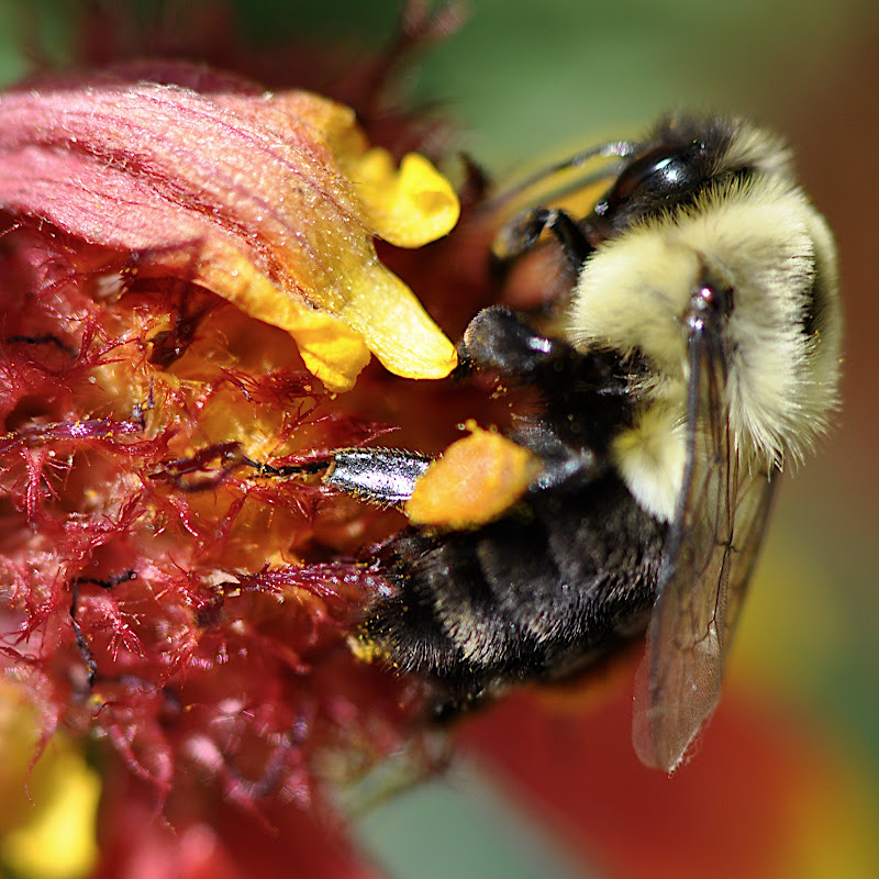 bumblebee in blanket flower