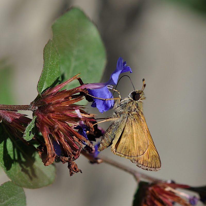 skipper drinking nectar from flower blossom