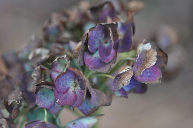 unretouched Hydrangea blossom