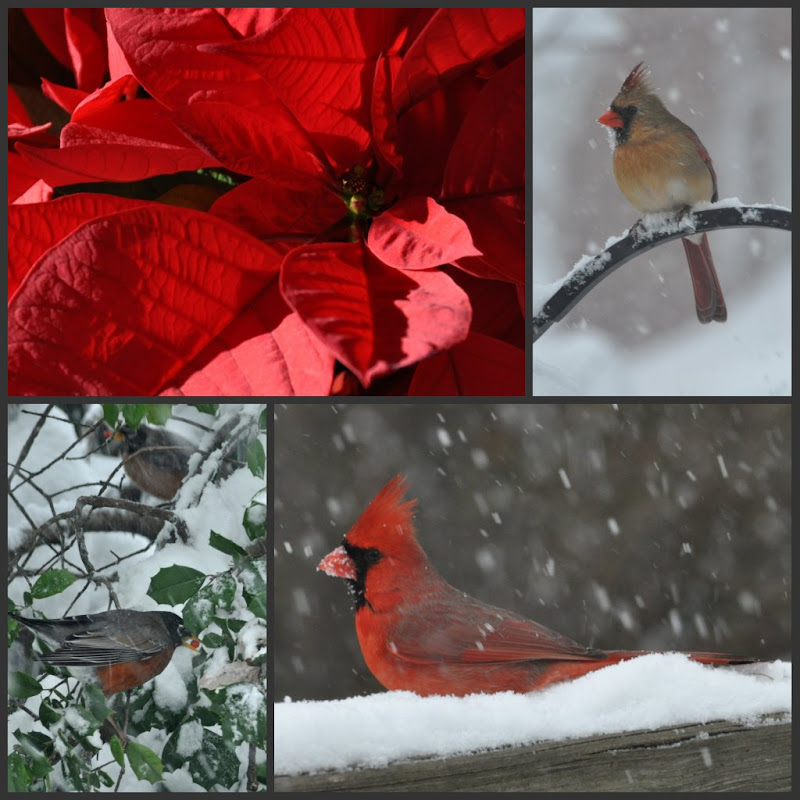 collage of (clockwise from top left) Poinsettia, female cardinal, male cardinal, robins in Holly tree (all birds in snow storm)