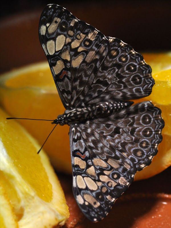 Variable Cracker butterfly dining on orange segments