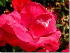 DSC05189- red rose