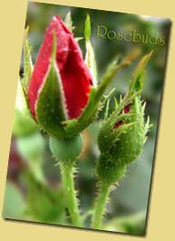 DSC05585-rosebuds copy