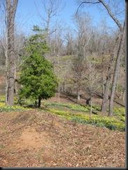 Daffodil gardens 042