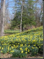 Daffodil gardens 034