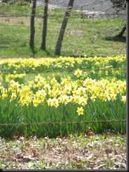 Daffodil gardens 013