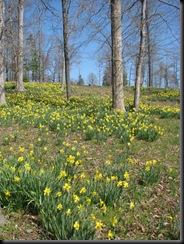 Daffodil gardens 015