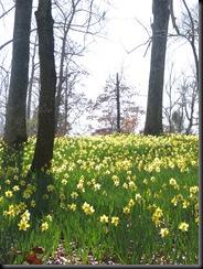Daffodil gardens 071