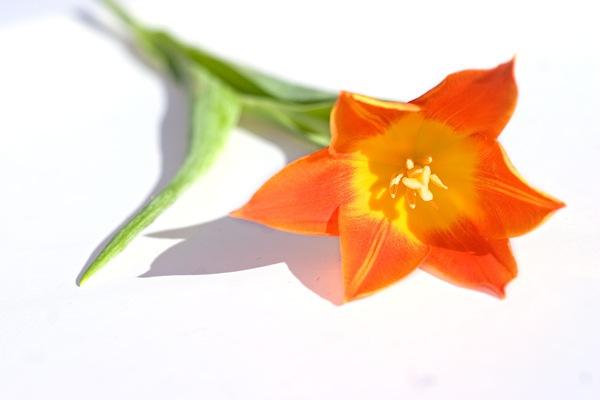 Fancys-tulip