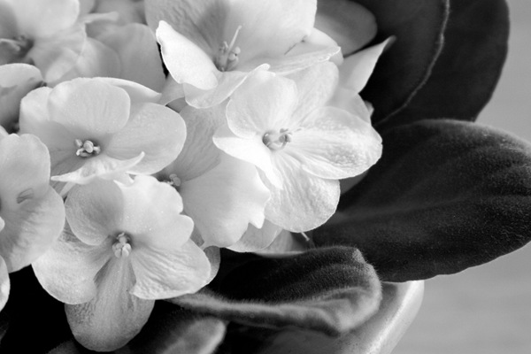 Monochrome-African-Violets