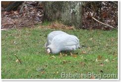 Turkeys in the backyard