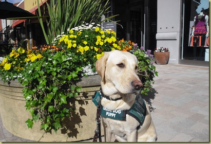 Reyna sitting by a beautiful planter full of colorful flowers.  Yes, these are the ones she just had to sniff!