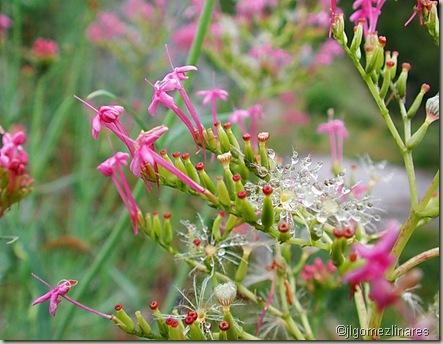 Flores XI