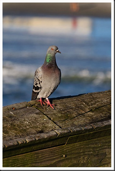 Myrtle_Pigeon