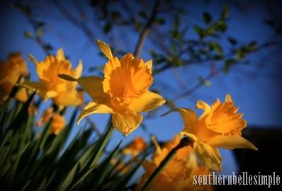 daffodils 2 - ayla