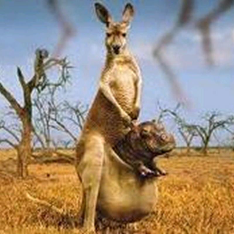 Teka teki : Kenapa kantung kanggaroo besar ??