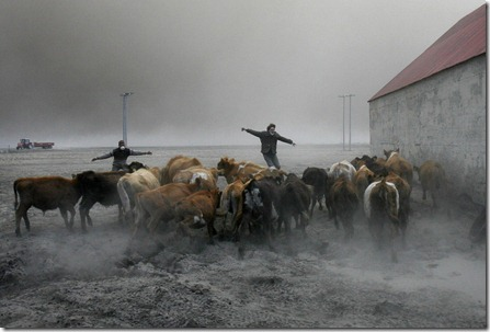 Farmers team up to rescue cattle from exposure to the toxic volcanic ash at a farm in Nupur, Iceland, as the volcano in southern Iceland's Eyjafjallajokull glacier sends ash into the air Saturday, April 17, 2010. (AP Photo/Brynjar Gauti) #