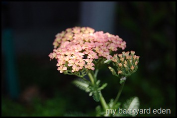 yarrow