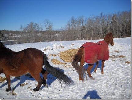 horses outside 022