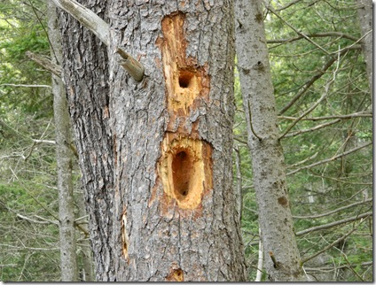 Woodpecker holes 001