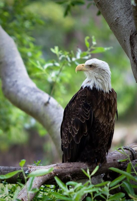IMAGE: http://lh5.ggpht.com/_HaQYiwqzkPU/SiHWw_CofvI/AAAAAAAAB7E/c_M4IC3UePs/s800/Eagle1.jpg